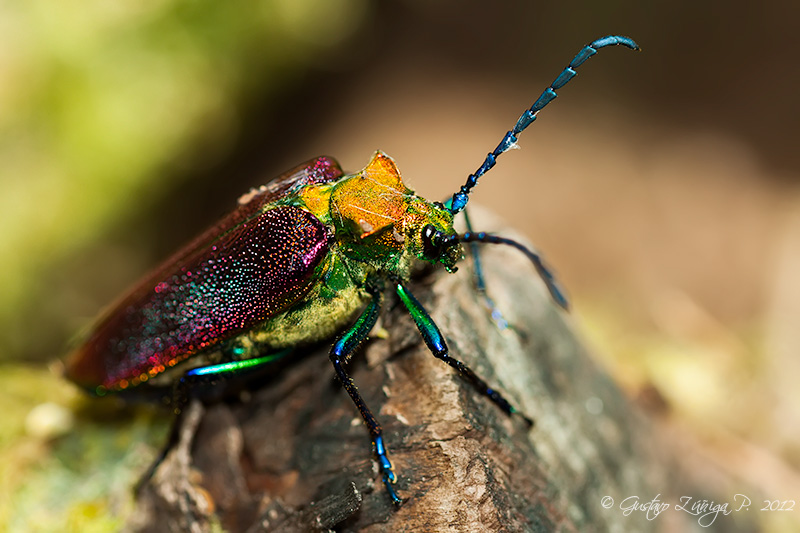 Cheloderus childreni – Coleóptero de la Luma