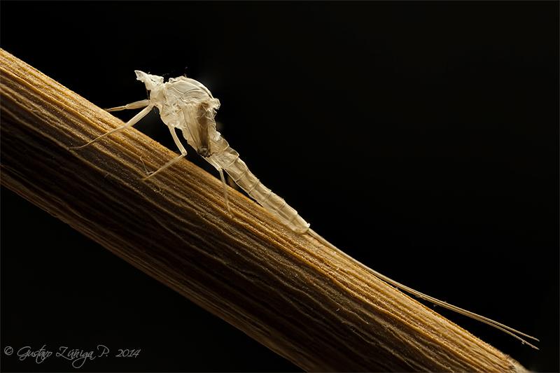 Muda de Efímera (Ephemeroptera)