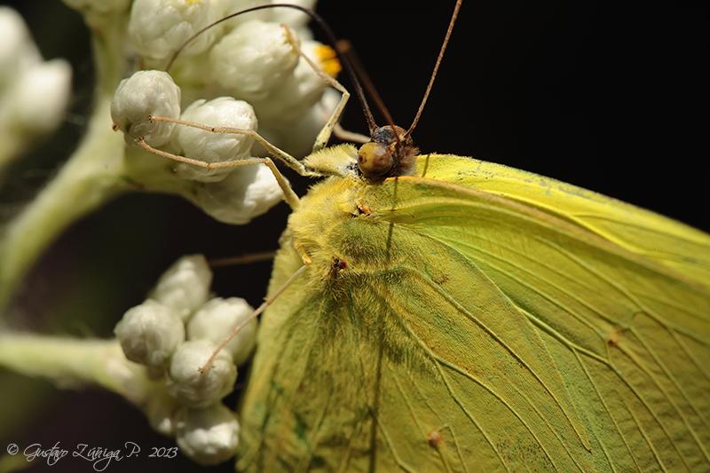 Phoebis sennae amphitrite