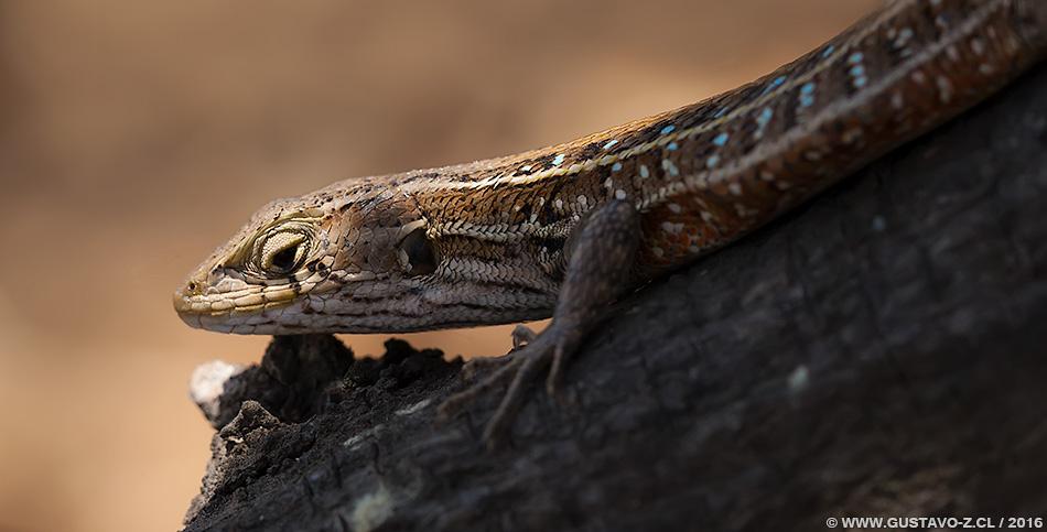 Liolaemus lemniscatus – Lagartija Lemniscata