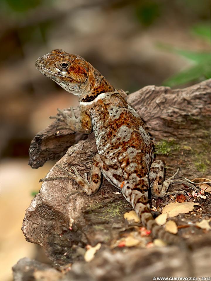 Pristidactylus torquatus – Gruñidor del Sur