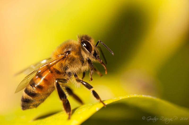 Artrópodos - Apidae