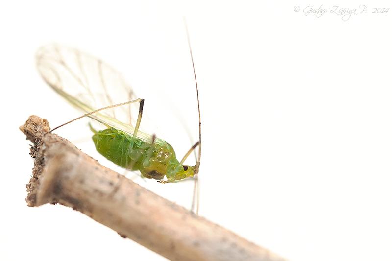 Artrópodos - Aphididae