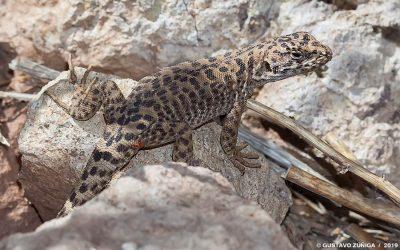 Liolaemus leopardinus – Lagarto Leopardo