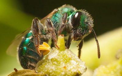 Callistochlora chloris – Abeja Verde Esmeralda