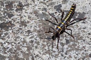 Agathemera mesoauriculae - Chincemolle